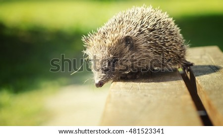 hedgehog outdoor