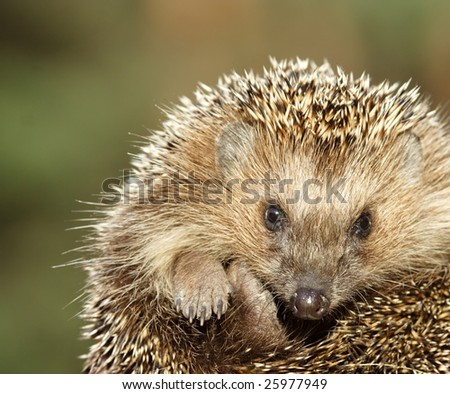 Hedgehog over the green background