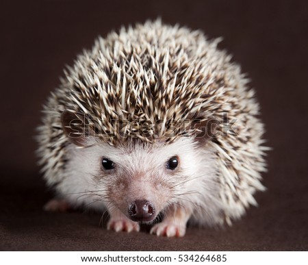 hedgehog portrait in studio