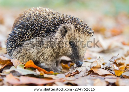 Hedgehog searching food in autumn leaves - stock photo