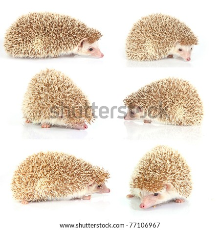 hedgehog series on white - stock photo