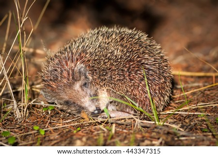 Hedgehog sleeping Southern White-breasted Hedgehog / Erinaceus concolor - stock photo