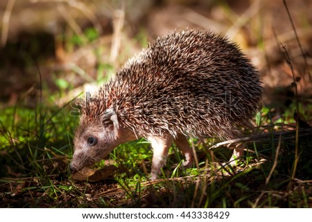 Hedgehog Southern White-breasted Hedgehog / Erinaceus concolor - stock photo