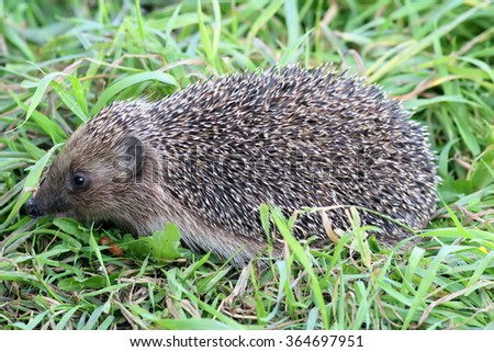 hedgehog through the grass
