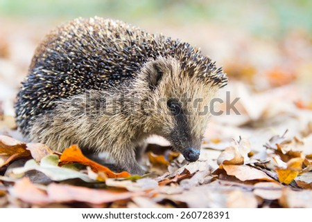Hedgehog walking and searching for food in autumn leaves - stock photo