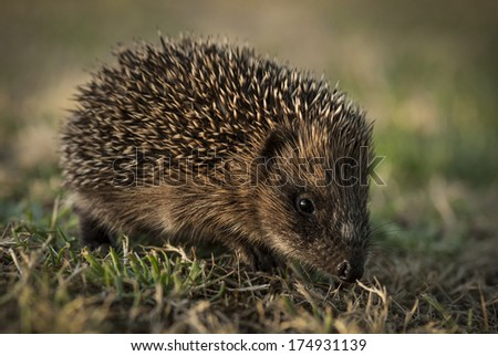 hedgehog walking eating in the grass