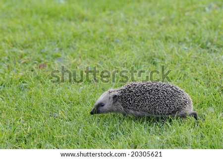 hedgehog walking on the grass - stock photo