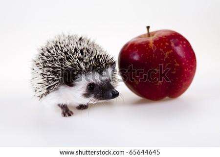 Hedgehog with apple - stock photo