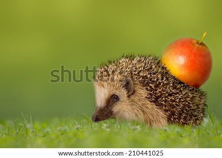 Hedgehog with apple on the backs in green meadow - stock photo