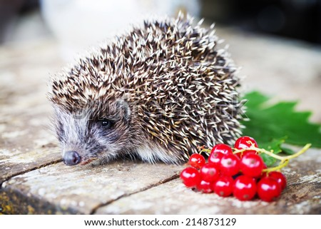 Hedgehog with berries on wooden background/ selective focus - stock photo
