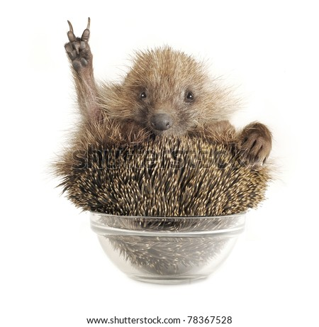 Hedgehog with gesture a victory on a white background