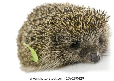Hedgehog with green leaf on its quills. Isolated over white.