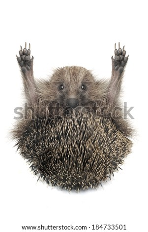Hedgehog with the raised hand on a white background