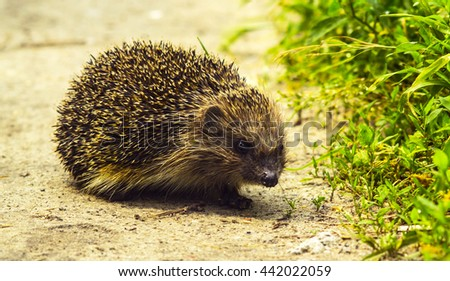 Hedgehog. Young hedgehog in natural. Curious hedgehog walks in the woods on a sunny summer day. hedgehog on green lawn in backyard.good hedgehog on the grass at nature - stock photo