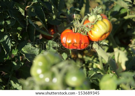 Heirloom tomatoes growing on a vine.