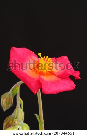 Helianthemum - stock photo