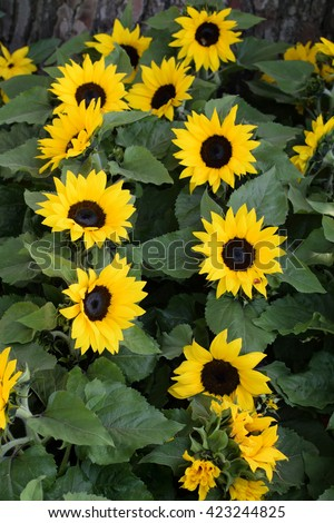 Helianthus sunflowers in bloom. Springtime nature background. - stock photo