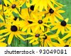 Helianthus tuberosus L. or girasol, Jerusalem Artichoke (Earth Apple) yellow flower Close-up - stock photo