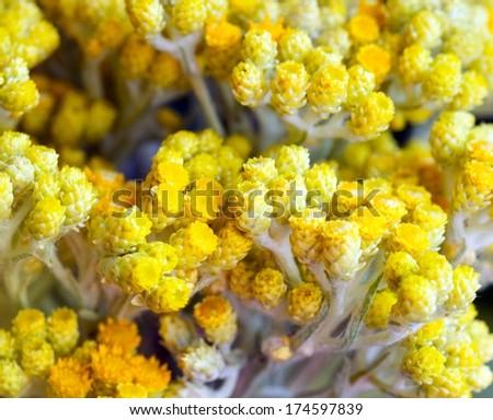 helichrysum arenarium - stock photo