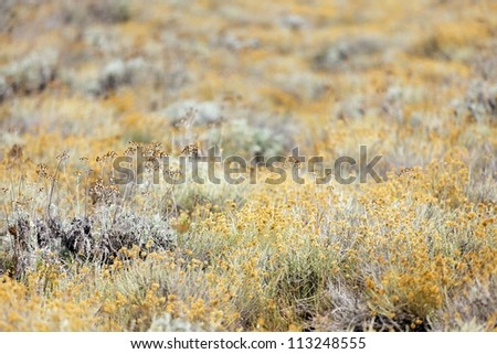 Helichrysum arenarium field, shallow depth - stock photo
