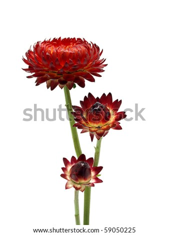 Helichrysum flower on the white background - stock photo