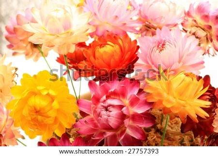 Helichrysum - Immortelle. Everlasting flower. Strawflower - stock photo