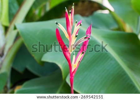 heliconia flower,Bird of Paradise flower with green leaf - stock photo