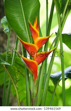 Heliconia flower bloom. - stock photo