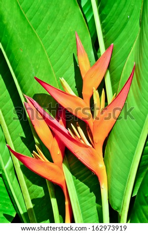 Heliconia flower bloom - stock photo