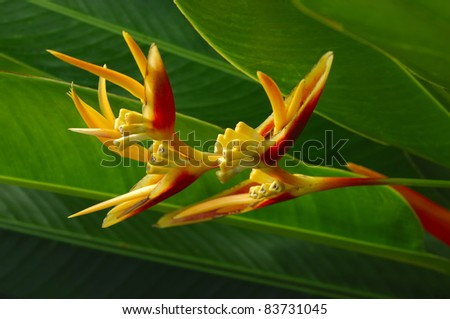 Heliconia flower in Bali, Indonesia - stock photo