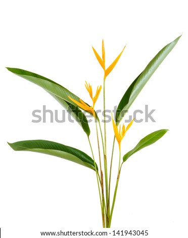 Heliconia flower isolated and white background - stock photo