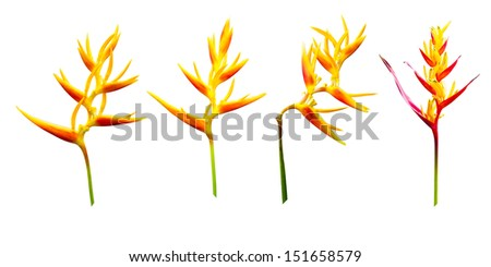 Heliconia flowers, tropical flower isolated on a white background  - stock photo