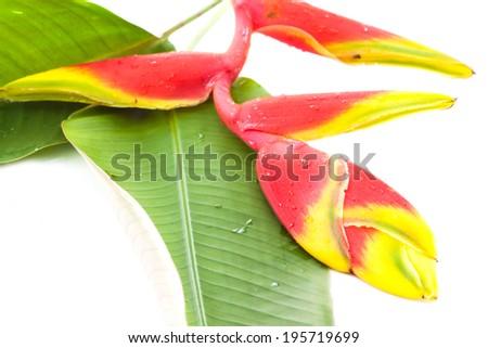 Heliconia isolated - stock photo