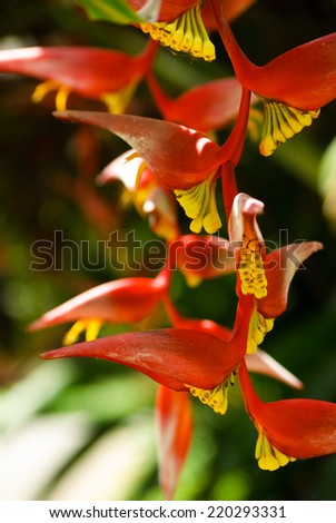 Heliconia Pendula - Hanging Crab Claw Flower - stock photo