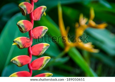 Heliconia pendula inflorescence  Heliconias are grown for the florist of trade and as landscape plants - stock photo