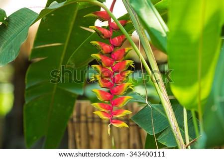 Heliconia rostrata, Heliconiaceae, Bali - Indonesia - stock photo