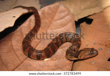 Helicops angulatus, the Brown-banded Water Snake  - stock photo