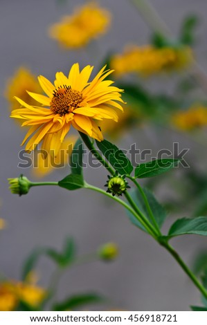 Heliopsis helianthoides, yellow flowers