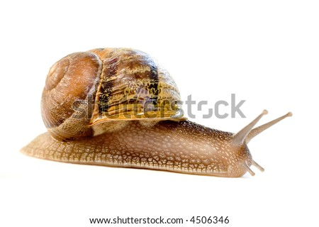 Helix aspersa species isolated on white - stock photo