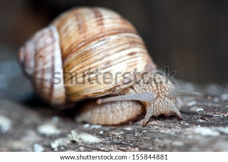 Helix pomatia, Burgundy snail, Roman snail, edible snail or escargot - stock photo