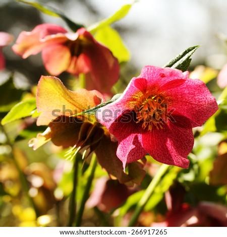 Hellebore flower, known as Christmas or Lenten Rose - stock photo