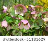 Helleborus  one of the first spring flowers in the garden - stock photo