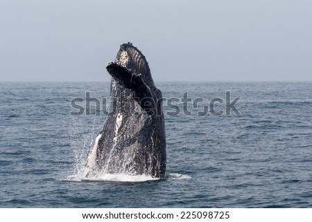 Hello - Humpback Whale Style A breaching Humpback whale waving its fin as if to say hello. The image is set off by a beautiful blue sky and the blue ocean waters of Pacific Mexico. - stock photo