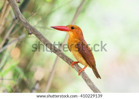 Hello, Ruddy Kingfisher (Halcyon coromanda), has been found atHad Chao Mai National park that separated in monospecific genus Entomothera, Thailand . - stock photo