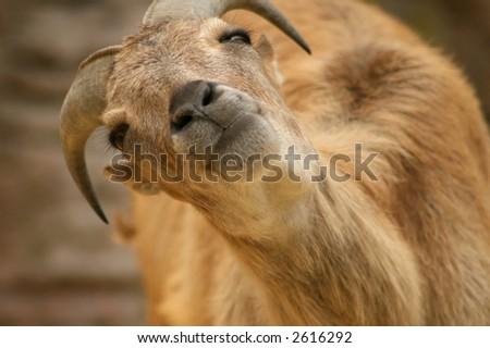 Hello there! Goat looking at the camera. - stock photo