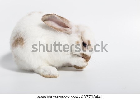 Hello!! White short hair adorable baby rabbits rabbit  on white background