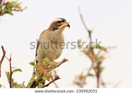 Helmeted Shrike - African Wild Bird Background - Bringing home the Food