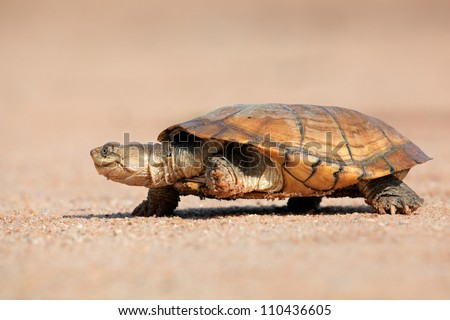 Helmeted terrapin (Pelomedusa subrufa) walking on land, South Africa - stock photo