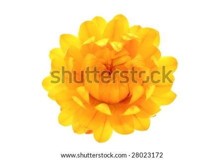 Helychrysum - Immortelle - stock photo