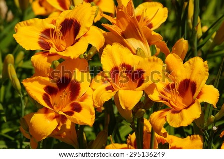 Hemerocallis - Beautiful yellow daylily flowers blossom in the garden